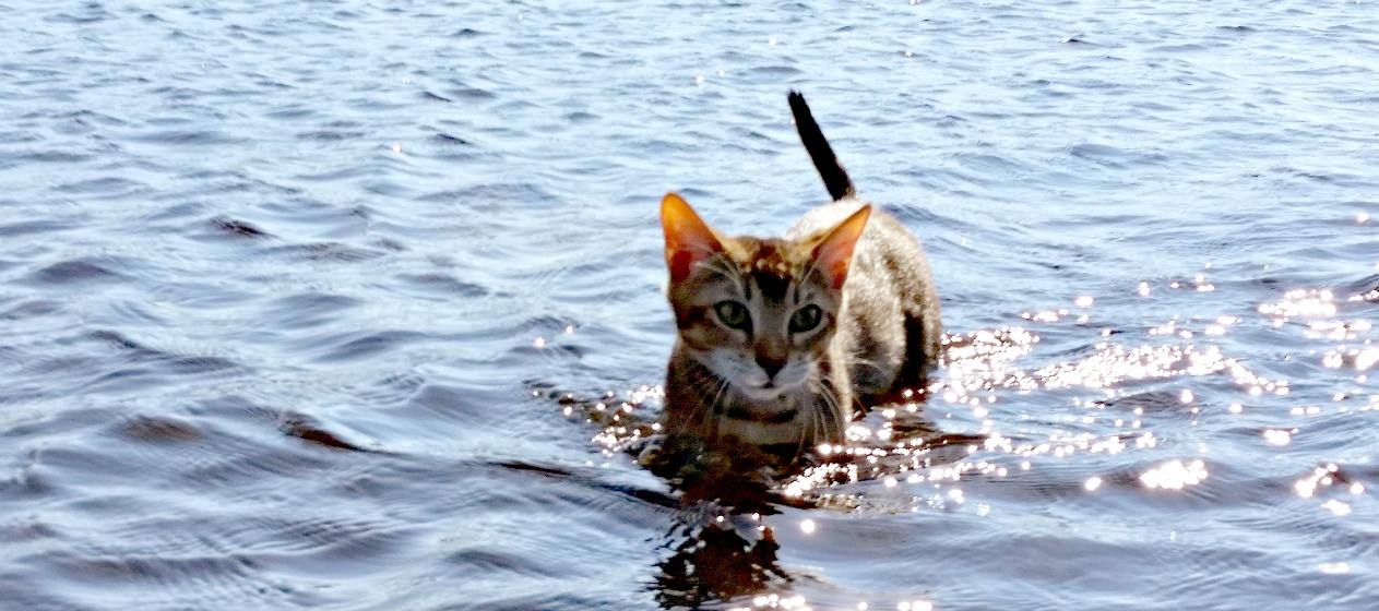 cat swimming in water